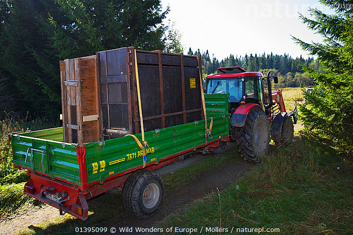 Tractor transporting two crates with European bison / Wisent (Bison bonasus) donated by Prague Zoo to an accomodation enclosure in Bieszczady National Park, Bukowiec, Poland, September 2011  ,  ARTIODACTYLA,BOVIDAE,BUFFALOS,EASTERN CARPATHIANS,EASTERN EUROPE,ENDANGERED,EUROPE,FLORIAN MOLLERS,MAMMALS,NP,POLAND,REINTRODUCTION,RESERVE,REWILDING,TRACTORS,VEHICLES,VERTEBRATES,WWE,National Park  ,  Wild Wonders of Europe / Möllers