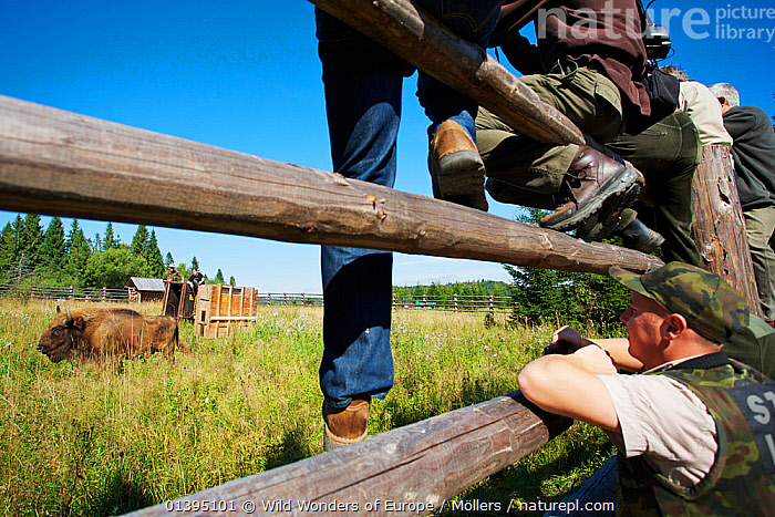 Staff of Bieszczady National park watching male European bison / Wisent (Bison bonasus) two year, in an accomodation enclosure in Bieszczady National Park shortly after its release, Bukowiec, Poland, September 2011  ,  ARTIODACTYLA,BOVIDAE,BUFFALOS,EASTERN CARPATHIANS,EASTERN EUROPE,ENDANGERED,EUROPE,FLORIAN MOLLERS,GROUPS,MALES,MAMMALS,NP,PEOPLE,POLAND,REINTRODUCTION,RESERVE,REWILDING,VERTEBRATES,WWE,National Park  ,  Wild Wonders of Europe / Möllers