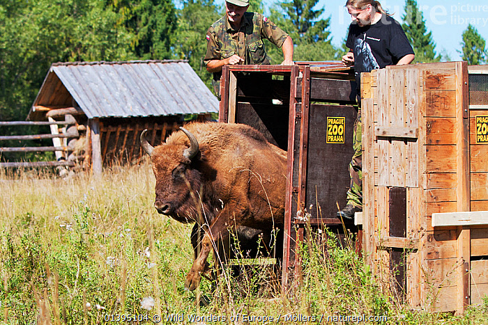 Male European bison / Wisent (Bison bonasus) two years, being released into an accomodation enclosure in Bieszczady National Park, Bukowiec, Poland, September 2011, model released  ,  ARTIODACTYLA,BOVIDAE,BUFFALOS,EASTERN CARPATHIANS,EASTERN EUROPE,ENDANGERED,EUROPE,FLORIAN MOLLERS,MALES,MAMMALS,NP,PEOPLE,POLAND,REINTRODUCTION,RESERVE,REWILDING,VERTEBRATES,WWE,National Park  ,  Wild Wonders of Europe / Möllers