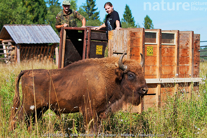 Male European bison / Wisent (Bison bonasus) two years, in an accomodation enclosure in shortly after its release, Bieszczady National Park, Bukowiec, Poland, September 2011, model released, ARTIODACTYLA,BOVIDAE,BUFFALOS,EASTERN CARPATHIANS,EASTERN EUROPE,ENDANGERED,EUROPE,FLORIAN MOLLERS,MALES,MAMMALS,NP,PEOPLE,POLAND,PROFILE,REINTRODUCTION,RESERVE,REWILDING,VERTEBRATES,WWE,National Park, Wild Wonders of Europe / Möllers