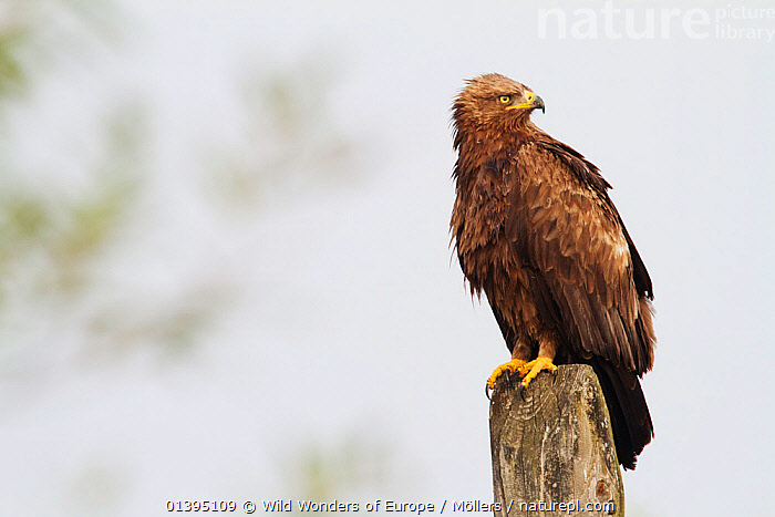 Lesser-spotted eagle (Aquila pomarina) perched on post near Lutowiska, Poland, September 2011, BIRDS,BIRDS OF PREY,CUTOUT,EAGLES,EASTERN CARPATHIANS,EASTERN EUROPE,EUROPE,FLORIAN MOLLERS,POLAND,REWILDING,VERTEBRATES,WWE,Raptor, Wild Wonders of Europe / Möllers
