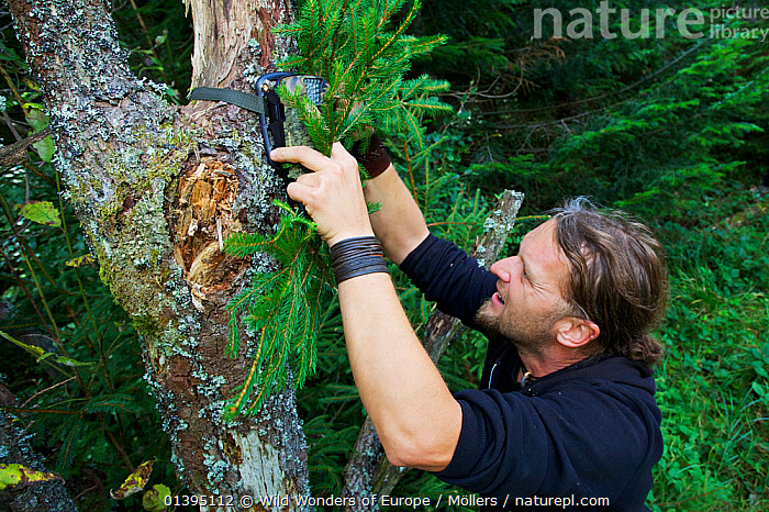 Wildlife biologist mounting an infra-red triggered wildlife monitoring camera to a tree pointing towards a wallow to monitor European bison / Wisent (Bison bonasus) and Red deer (Cervus elaphus), Bukowiec, Poland, September 2011 Model released, CAMERAS,CAMOUFLAGE,EASTERN CARPATHIANS,EASTERN EUROPE,EUROPE,FLORIAN MOLLERS,MAN,PEOPLE,POLAND,RESEARCH,REWILDING,WWE, Wild Wonders of Europe / Möllers