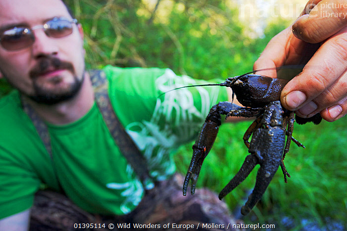Man holding a large male European / Noble crayfish (Astacus astacus) that he caught by hand in a small creek close to his home town, Leszczowate, Ropienka, Poland, September 2011, model released  ,  ARTHROPODS,CRAYFISH,CRUSTACEANS,EASTERN CARPATHIANS,EASTERN EUROPE,EUROPE,FLORIAN MOLLERS,FRESHWATER,INVERTEBRATES,MALES,MAN,PEOPLE,POLAND,REWILDING,WWE  ,  Wild Wonders of Europe / Möllers