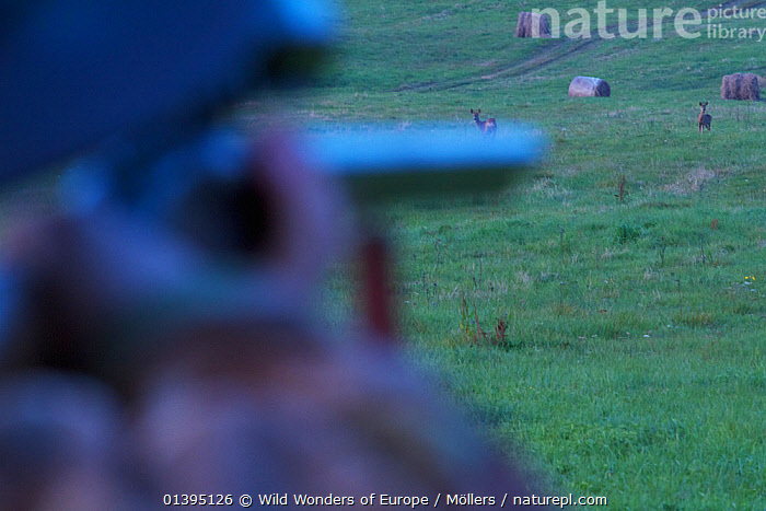 Hunter aiming at Roe deer (Capreolus capreolus) in a meadow near Leszczowate, Bieszczady region, Poland, September 2011 Model released  ,  ARTIODACTYLA,CERVIDAE,DEER,EASTERN CARPATHIANS,EASTERN EUROPE,EUROPE,FLORIAN MOLLERS,HUNTING,MAMMALS,PEOPLE,POLAND,REWILDING,TWO,VERTEBRATES,WWE  ,  Wild Wonders of Europe / Möllers