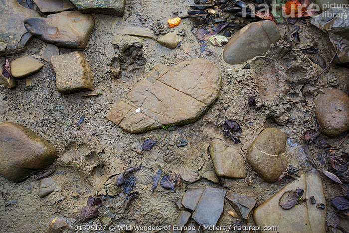 Brown bear (Ursus arctos) and Grey wolf (Canis lupus) tracks on a sandy patch on the bank of the San River, Krywe Nature Reserve, Bieszczady region, Poland, September 2011  ,  BEARS,CANIDAE,CANIDS,CARNIVORES,EASTERN CARPATHIANS,EASTERN EUROPE,EUROPE,FLORIAN MOLLERS,MAMMALS,MIXED SPECIES,PAWS,POLAND,RESERVE,REWILDING,TRACKS,URSIDAE,VERTEBRATES,WOLVES,WWE  ,  Wild Wonders of Europe / Möllers
