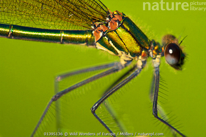 Female Banded demoiselle damselfly (Calopteryx splendens) close-up of head and thorax, Pont-du-Chateau, Auvergne, France, August 2010  ,  ARTHROPODS, CLOSE-UPS, DAMSELFLIES, EUROPE, FEMALES, florian-mollers, FRANCE, INSECTS, INVERTEBRATES, IRIDESCENT, LEGS, ODONATA, PROFILE, WWE  ,  Wild Wonders of Europe / Möllers