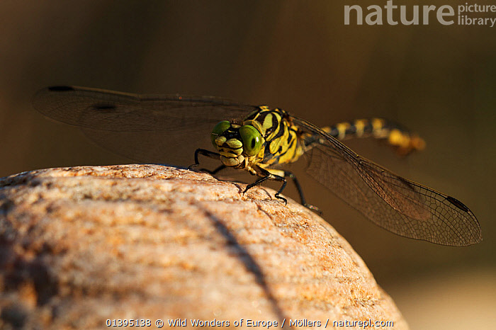 Male Yellow clubtail dragonfly (Gomphus simillimus) resting on stone, Allier river, Pont-du-Chateau, Auvergne, France, August 2010  ,  ARTHROPODS,DRAGONFLIES,EUROPE,FLORIAN MOLLERS,FRANCE,GOMPHIDAE,INSECTS,INVERTEBRATES,MALES,ODONATA,WINGS,WWE  ,  Wild Wonders of Europe / Möllers