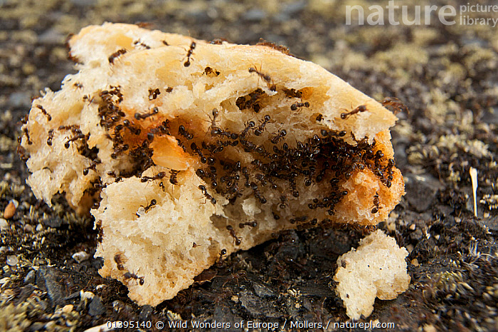 Hundreds of small black ants feeding on a piece of bread on street, Pont-du-Chateau, Auvergne, France, August 2010  ,  ANTS,ARTHROPODS,BEHAVIOUR,EUROPE,FEEDING,FLORIAN MOLLERS,FRANCE,GROUPS,HYMENOPTERA,INSECTS,INVERTEBRATES,MASS,URBAN,WWE  ,  Wild Wonders of Europe / Möllers