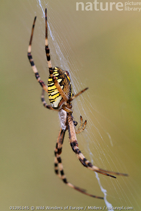 Female Wasp spider (Argiope bruennichi) on web, Etang des Boires - an oxbow of the river Allier, Pont-du-Chateau, Auvergne, France, August 2010  ,  ARACHNIDS,ARTHROPODS,EUROPE,FEMALES,FLORIAN MOLLERS,FRANCE,INVERTEBRATES,ORB WEAVER SPIDERS,SPIDERS,SPIDER WEBS,STRIPES,VERTICAL,WWE  ,  Wild Wonders of Europe / Möllers