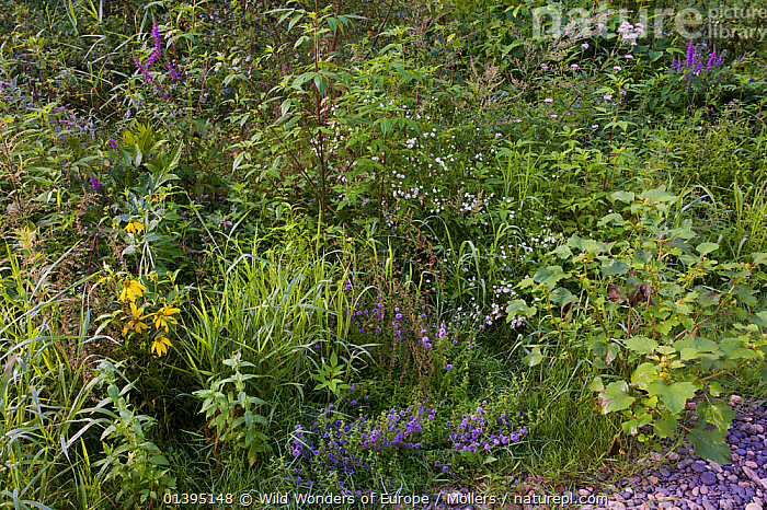 Pioneer vegetation on gravel bank by the river Allier, Pont-du-Chateau, Auvergne, France, August 2010  ,  EUROPE,FLORIAN MOLLERS,FLOWERS,FRANCE,GROWTH,MIXED SPECIES,PLANTS,VEGETATION,WWE,Concepts  ,  Wild Wonders of Europe / Möllers