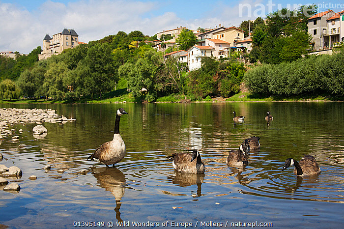 Canada geese (Branta canadensis) on the river Allier, with one standing in shallow water, Pont-du-Chateau, Auvergne, France, August 2010  ,  ANATIDAE,BIRDS,BUILDINGS,EUROPE,FLORIAN MOLLERS,FRANCE,GEESE,GROUPS,LANDSCAPES,REFLECTIONS,RIVERS,SEVEN,TOWNS,VERTEBRATES,WATER,WATERFOWL,WWE  ,  Wild Wonders of Europe / Möllers