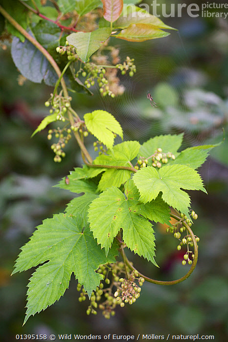 Common hop (Humulus lupulus) and spider web, Pont-du-Chateau, Auvergne, France, August 2010  ,  DICOTYLEDONS,EUROPE,FLORIAN MOLLERS,FRANCE,LEAVES,MORACEAE,PLANTS,SPIDERS,SPIDER WEBS,VERTICAL,WWE  ,  Wild Wonders of Europe / Möllers