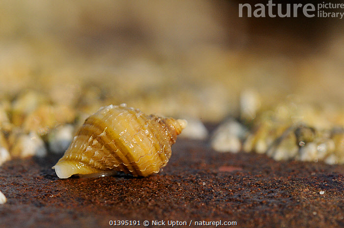 Young Dog whelk (Nucella lapillus) crawling over a boulder exposed at low tide, St. Bees, Cumbria, UK, July  ,  BRITISH,COASTAL,COASTS,EUROPE,GASTROPODS,IMMATURE,INTERTIDAL,INVERTEBRATES,JULY,JUVENILE,LITTORAL,MARINE,MOLLUSCS,MURIDAE,ONE,PORTRAITS,ROCKPOOLS,SCOTLAND,SEA,SHELLS,SHORELINE,SINGLE,SNAILS,SUMMER,TEMPERATE,TIDAL,TIDE POOLS,UK,WHITE,ENGLAND,United Kingdom  ,  Nick Upton
