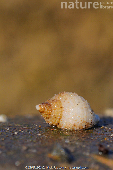 Young Dog whelk (Nucella lapillus) on a boulder exposed at low tide, St. Bees, Cumbria, UK, July  ,  British,coastal,coastal waters,COASTS,EUROPE,GASTROPODS,intertidal,INVERTEBRATES,July,LITTORAL,MARINE,MOLLUSCS,MURIDAE,one,PORTRAITS,rockpools,SCOTLAND,sea,shells,shoreline,single,SNAILS,SUMMER,TEMPERATE,Tidal,tide pools,UK,VERTICAL,WHITE,ENGLAND,United Kingdom  ,  Nick Upton
