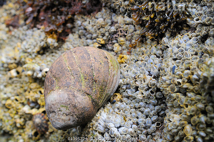 Adult Common periwinkle (Littorina liitorea) with well worn shell on rocks encrusted with Common barnacles (Semibalanus balanoides) exposed at low tide, Crail, Fife, July  ,  BRITISH,COASTS,EUROPE,GASTROPODS,INTERTIDAL,INVERTEBRATES,JULY,LITTORAL,MARINE,MIXED SPECIES,MOLLUSCS,SCOTLAND,SHORELINE,SNAILS,SUMMER,TEMPERATE,TIDAL,UK,United Kingdom  ,  Nick Upton
