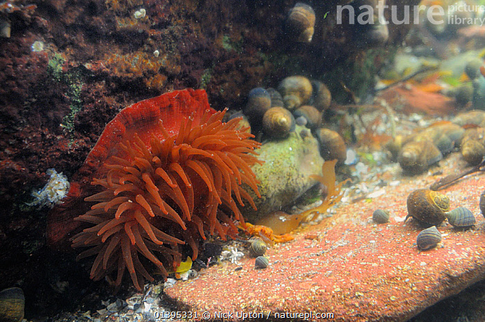 Beadlet anemone (Actinia equina) with tentacles spread out, alongside adult and young Common periwinkles (Littorina littorea) in a rockpool, North Berwick, East Lothian, UK, July  ,  ANEMONES,ANTHOZOANS,BRITISH,CNIDARIANS,COASTAL,COASTAL WATERS,COASTS,EUROPE,GASTROPODS,INTERTIDAL,INVERTEBRATES,JULY,LITTORAL,MARINE,MIXED SPECIES,MOLLUSCS,ROCKPOOLS,SCOTLAND,SEA,SEA ANEMONES,SUMMER,TEMPERATE,TIDAL,UK,UNDERWATER,United Kingdom  ,  Nick Upton