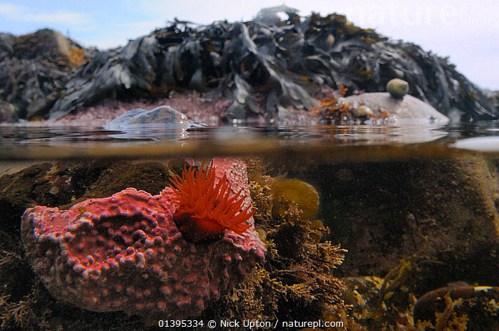 Split level view of a Beadlet anemone (Actinia equina) attached to a boulder encrusted with Maerl (Lithothamnion glaciale) a red coralline alga, in a large rockpool, Crail, Scotland, UK, July  ,  ANTHOZOA,ANTHOZOANS,BRITISH,CNIDARIA,CNIDARIANS,COASTAL WATERS,COASTS,EUROPE,INTERTIDAL,INVERTEBRATES,JULY,LITTORAL,MARINE,MIXED SPECIES,ROCKPOOLS,SCOTLAND,SEA,SEA ANEMONES,SPLIT LEVEL,SUMMER,TEMPERATE,TIDAL,TIDE POOLS,TIDEPOOLS,UK,UNDERWATER,United Kingdom,Catalogue5  ,  Nick Upton