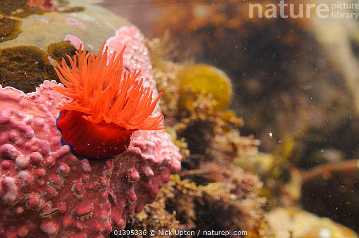 Beadlet anemone (Actinia equina) attached to a boulder encrusted with Maerl (Lithothamnion glaciale) a red coralline alga, in a large rockpool, Crail, Scotland, UK, July.  ,  ANTHOZOANS,BRITISH,CNIDARIANS,COASTAL WATERS,COASTS,EUROPE,INTERTIDAL,INVERTEBRATES,JULY,LITTORAL,MARINE,ROCKPOOLS,SCOTLAND,SEA,SEA ANEMONES,SUMMER,TEMPERATE,TIDAL,TIDEPOOLS,UK,UNDERWATER,United Kingdom  ,  Nick Upton