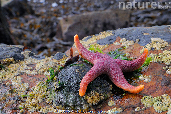 Bloody Henry starfish (Henricia oculata) exposed on a low spring tide on rocks, Crail, Scotland, UK, July  ,  ASTEROIDEA,BRITISH,COASTS,CRUSTACEANS,ECHINODERMS,EUROPE,INTERTIDAL,INVERTEBRATES,JULY,LIMPETS,MARINE,SCOTLAND,SEA STARS,SHORELINE,STARFISH,SUMMER,TEMPERATE,TIDAL,UK,United Kingdom  ,  Nick Upton