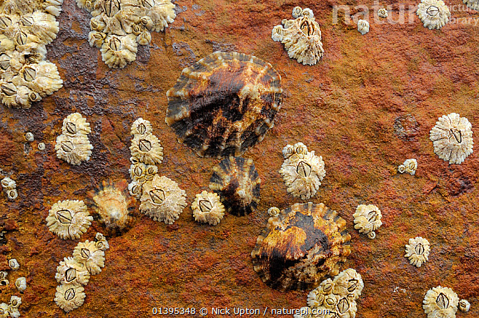Common limpets (Patella vulgata) and Common Barnacles (Balanus balanoides) attached to sandstone rock exposed at low tide, Crail, Scotland, UK, July.  ,  BARNACLES,BRITISH,COASTS,CRUSTACEANS,EUROPE,GASTROPODS,GROUPS,INTERTIDAL,INVERTEBRATES,JULY,LIMPETS,LITTORAL,MARINE,MIXED SPECIES,MOLLUSCS,SCOTLAND,SHORELINE,SUMMER,TEMPERATE,TIDAL,UK,United Kingdom  ,  Nick Upton