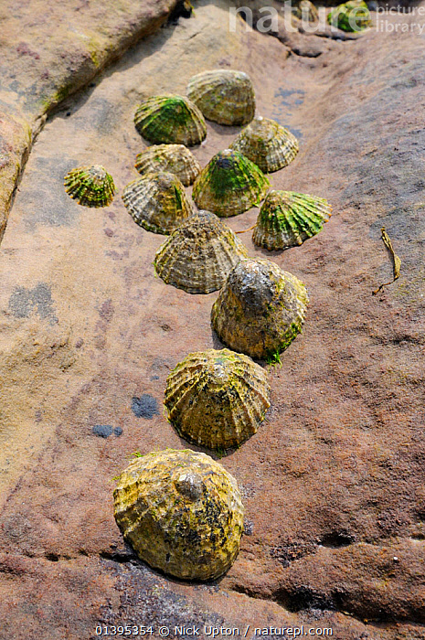 Common limpets (Patella vulgata) clustered in a gulley in red sandstone rock high on the shore at low tide, Crail, Scotland, UK, July.  ,  BRITISH,COASTS,EUROPE,GASTROPODS,GROUPS,INTERTIDAL,INVERTEBRATES,JULY,LIMPETS,LITTORAL,MARINE,MOLLUSCS,SCOTLAND,SHORELINE,SUMMER,TEMPERATE,TIDAL,UK,VERTICAL,United Kingdom  ,  Nick Upton