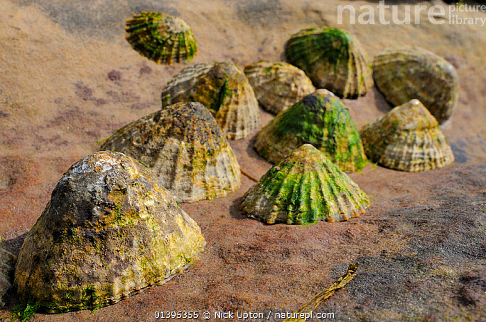 Common limpets (Patella vulgata) clustered in a gulley in red sandstone rock high on the shore at low tide, Crail, Scotland, UK, July.  ,  BRITISH,COASTS,EUROPE,GASTROPODS,GROUPS,INTERTIDAL,INVERTEBRATES,JULY,LIMPETS,LITTORAL,MARINE,MOLLUSCS,SCOTLAND,SHORELINE,SUMMER,TEMPERATE,TIDAL,UK,United Kingdom  ,  Nick Upton