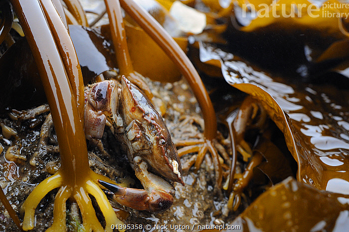 Edible crab (Cancer pagurus) well camouflaged among holdfasts of Cuvie / Forest kelp (Laminaria hyperborea), exposed on a low spring tide, North Berwick, East Lothian, UK, July.  ,  ALGAE,ARTHROPODS,BRITISH,CAMOUFLAGE,COASTAL WATERS,COASTS,CRABS,CRUSTACEANS,EUROPE,HOLDFASTS,INTERTIDAL,INVERTEBRATES,JULY,LITTORAL,MARINE,SCOTLAND,SEAWEED,SUMMER,TEMPERATE,TIDAL,TIDEPOOLS,UK,Plants,United Kingdom  ,  Nick Upton