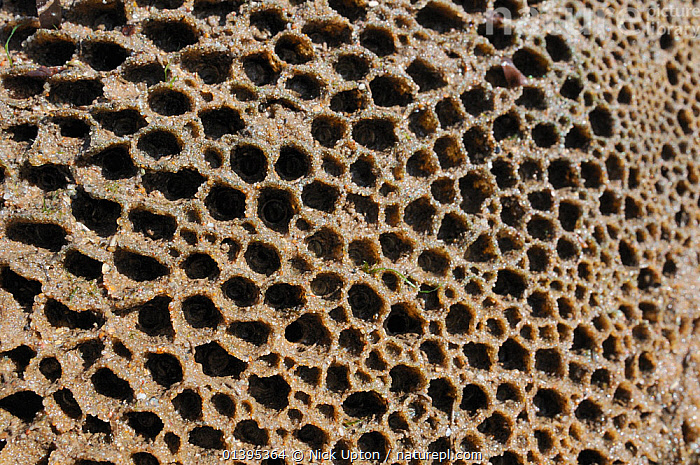 Honeycomb worm reef (Sabellaria alveolata) with clustered tubes built of sand grains attached to boulders, exposed at low tide, St.Bees, Cumbria, UK, July.  ,  ABSTRACT, ANNELIDS, BRISTLEWORMS, British, coastal, COASTS, colonies, CRYPTIC, cumbria, ENGLAND, EUROPE, GROUPS, intertidal, INVERTEBRATES, LITTORAL, MARINE, PATTERNS, POLYCHAETES, sea, SUMMER, TEMPERATE, TUBE WORMS, UK, WORMS,United Kingdom  ,  Nick Upton