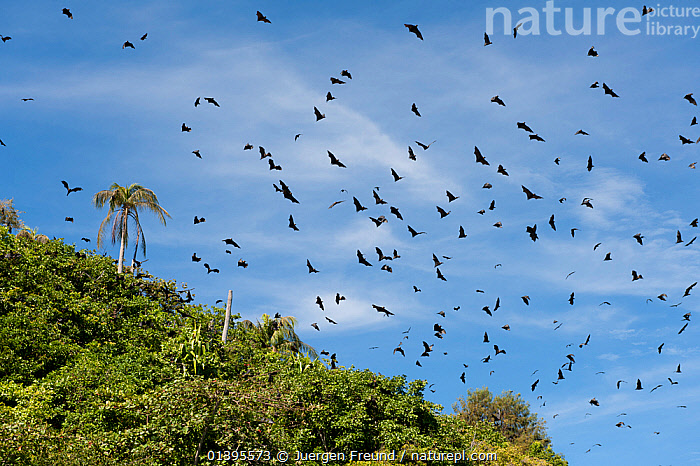 Spectacled flying foxes (Pteropus conspicillatus) flying out of the island where they roost during the day, North Queensland, Australia. February.  ,  ACTION,AUSTRALIA,BATS,BEHAVIOUR,CARE,CHIROPTERA,FLIGHT,FLYING,FLYING FOXES,FRUITBATS,FRUIT BATS,GROUPS,MAMMALS,MASS,PROJECT,PTEROPODIDAE,QUEENSLAND,REHABILITATION,ROOSTING,TROPICAL,TROPICS,VERTEBRATES,WILD  ,  Jurgen Freund