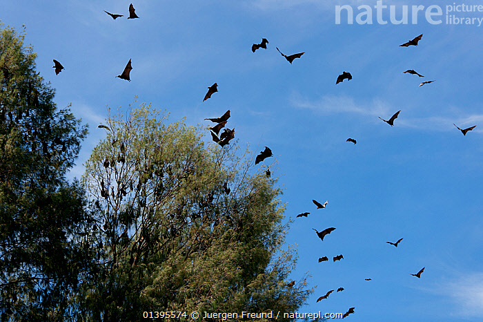 Spectacled flying foxes (Pteropus conspicillatus) flying out of the island where they roost during the day, North Queensland, Australia. February.  ,  AUSTRALIA,BATS,BEHAVIOUR,CARE,CHIROPTERA,FLOCKS,FLYING,FLYING FOXES,FRUITBATS,FRUIT BATS,MAMMALS,MASS,PROJECT,PTEROPODIDAE,QUEENSLAND,REHABILITATION,ROOSTING,TROPICAL,TROPICS,VERTEBRATES  ,  Jurgen Freund