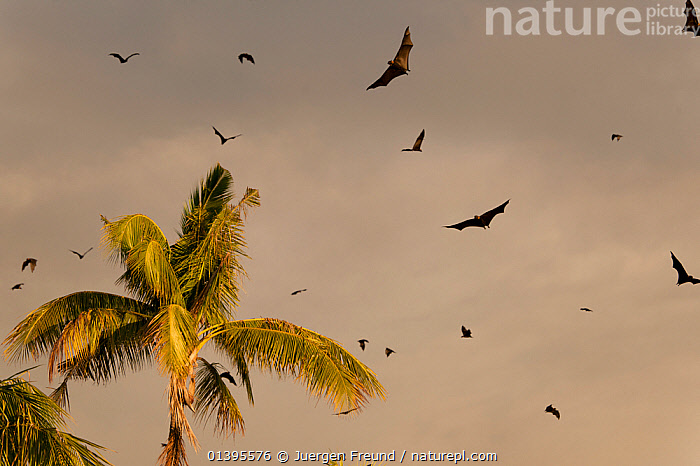 Spectacled flying foxes (Pteropus conspicillatus) flying out of the island where they roost during the day, North Queensland, Australia. February.  ,  AUSTRALIA,BATS,BEHAVIOUR,CARE,CHIROPTERA,DUSK,EVENING,FLYING,FLYING FOXES,FRUITBATS,FRUIT BATS,GROUPS,MAMMALS,MASS,PROJECT,PTEROPODIDAE,QUEENSLAND,REHABILITATION,ROOSTING,TREES,TROPICAL,TROPICS,VERTEBRATES,PLANTS  ,  Jurgen Freund