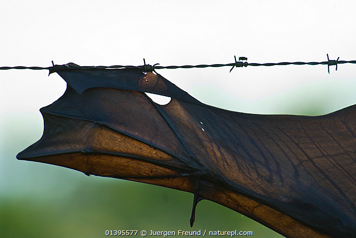 Spectacled flying fox (Pteropus conspicillatus) killed in barbed wired fence, Queensland, Australia. December 2007.  ,  ATHERTON,AUSTRALIA,BARBED,BATS,CARE,CHIROPTERA,DANGER,DEAD,DEATH,ENVIRONMENTAL,FENCES,FLYING FOXES,FRUITBATS,FRUIT BATS,HOOKS,MAMMALS,PROJECT,PTEROPODIDAE,QUEENSLAND,REHABILITATION,TORN,TROPICAL,TROPICS,VERTEBRATES,WINGS  ,  Jurgen Freund