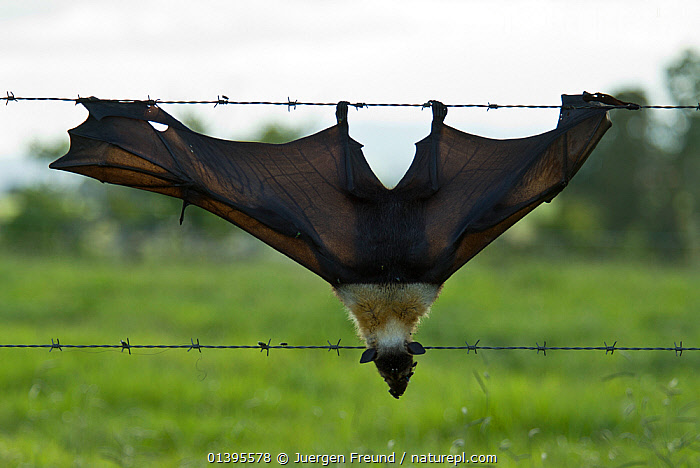 Spectacled flying fox (Pteropus conspicillatus) killed in barbed wired fence, Queensland, Australia. December 2007.  ,  ATHERTON,AUSTRALIA,BARBED,BATS,CARE,CAUGHT,CHIROPTERA,CONSERVATION,DANGER,DEAD,DEATH,ENVIRONMENTAL,FENCES,FLYING FOXES,FRUITBATS,FRUIT BATS,HOOKS,MAMMALS,PROJECT,PTEROPODIDAE,QUEENSLAND,REHABILITATION,TORN,TROPICAL,TROPICS,VERTEBRATES,WINGS  ,  Jurgen Freund