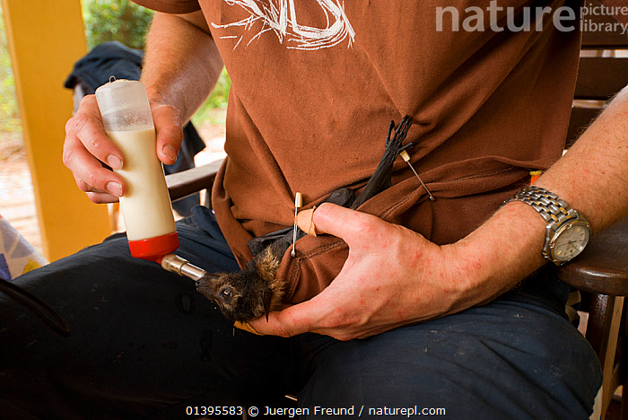 Spectacled flying fox (Pteropus conspicillatus) orphan baby being fed and cared for by Andrew, a volunteer biologist in Tolga Bat Hospital, Atherton, North Queensland, Australia. December 2007.  ,  ATHERTON,AUSTRALIA,BABIES,BATS,CARE,CHIROPTERA,FEEDING,FLYING FOXES,FRUITBATS,FRUIT BATS,HOSPITAL,JUVENILE,MAMMALS,MILK,ORPHANAGE,ORPHANS,PEOPLE,PROJECT,PTEROPODIDAE,QUEENSLAND,REFUGE,REHABILITATION,TOLGA,TROPICAL,TROPICS,VERTEBRATES,VOLUNTARY,YOUNG  ,  Jurgen Freund