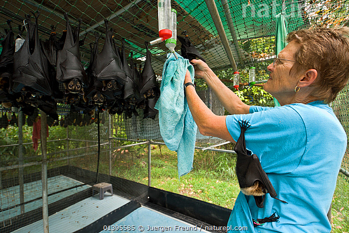 Spectacled flying fox (Pteropus conspicillatus) orphan baby being cared for by Lib Ruytenberg, volunteer wildlife carer, with another hanging from her shirt and more hanging up inside Tolga Bat Hospital, Atherton, North Queensland, Australia. December 2007.  ,  ATHERTON,AUSTRALIA,BATS,CARE,CARING,CHIROPTERA,FEEDING,FEMALES,FLYING FOXES,FRUITBATS,FRUIT BATS,GROUPS,HOSPITAL,MAMMALS,ORPHANAGE,PEOPLE,PROJECT,PTEROPODIDAE,QUEENSLAND,REFUGE,REHABILITATION,ROOSTING,TOLGA,TROPICAL,TROPICS,VERTEBRATES,VOLUNTARY  ,  Jurgen Freund