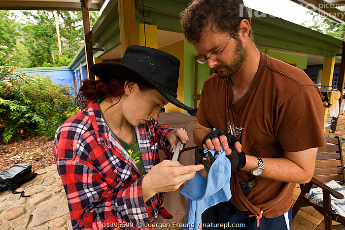 Spectacled flying fox orphans (Pteropus conspicillatus) being weighed and microchipped by volunteer wildlife carers Maren and Andrew of Tolga Bat Hospital, Atherton, North Queensland, Australia. December 2007.  ,  ATHERTON,AUSTRALIA,BATS,CARE,CHIROPTERA,FLYING FOXES,FRUITBATS,FRUIT BATS,HOSPITAL,MAMMALS,MEASURING,ORPHANAGE,PEOPLE,PROJECT,PTEROPODIDAE,QUEENSLAND,REFUGE,REHABILITATION,RESEARCH,SCIENTIFIC,STUDY,TAGGING,TOLGA,TROPICAL,TROPICS,VERTEBRATES  ,  Jurgen Freund