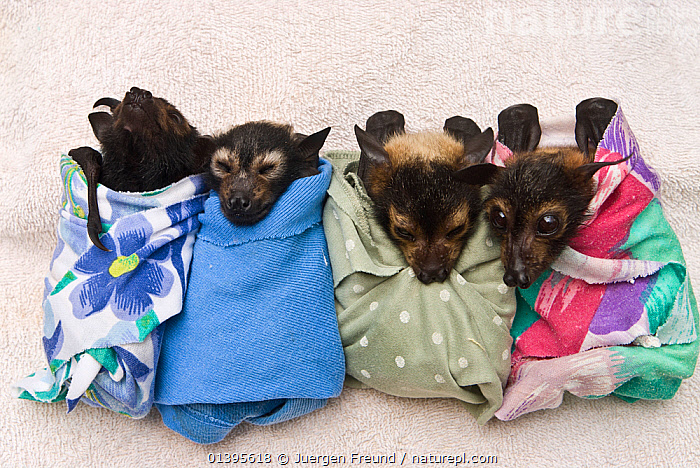 Spectacled flying fox (Pteropus conspicillatus) babies swaddled in cloth ready to sleep, Tolga Bat Hospital, Atherton, North Queensland, Australia. January 2008.  ,  ATHERTON,AUSTRALIA,BABIES,BATS,CARE,CHIROPTERA,CUTE,FLYING FOXES,FOUR,FRUITBATS,FRUIT BATS,GROUPS,HOSPITAL,JUVENILE,MAMMALS,ORPHANAGE,ORPHANS,PROJECT,PTEROPODIDAE,QUEENSLAND,REFUGE,REHABILITATION,RESTING,SLEEPING,TOLGA,TROPICAL,TROPICS,VERTEBRATES,YOUNG  ,  Jurgen Freund