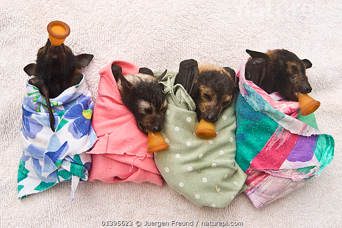 Spectacled flying fox (Pteropus conspicillatus) babies swaddled in cloth ready to sleep, teats in mouths ready to be fed, Tolga Bat Hospital, Atherton, North Queensland, Australia. January 2008.  ,  ATHERTON,AUSTRALIA,BABIES,BATS,CARE,CHIROPTERA,CUTE,DUMMIES,FEEDING,FLYING FOXES,FOUR,FRUITBATS,FRUIT BATS,GROUPS,HOSPITAL,JUVENILE,MAMMALS,ORPHANAGE,ORPHANS,PROJECT,PTEROPODIDAE,QUEENSLAND,REFUGE,REHABILITATION,TOLGA,TROPICAL,TROPICS,VERTEBRATES,YOUNG  ,  Jurgen Freund