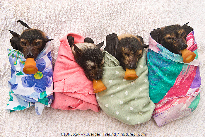 Spectacled flying fox (Pteropus conspicillatus) babies swaddled up in cloth ready to sleep, teats in mouths ready to be fed, Tolga Bat Hospital, Atherton, North Queensland, Australia. January 2008.  ,  ATHERTON,AUSTRALIA,BABIES,BATS,CARE,CHIROPTERA,CUTE,FEEDING,FLYING FOXES,FOUR,FRUITBATS,FRUIT BATS,GROUPS,HOSPITAL,JUVENILE,MAMMALS,ORPHANAGE,ORPHANS,PROJECT,PTEROPODIDAE,QUEENSLAND,REFUGE,REHABILITATION,RESTING,SLEEPING,TOLGA,TROPICAL,TROPICS,VERTEBRATES,YOUNG  ,  Jurgen Freund