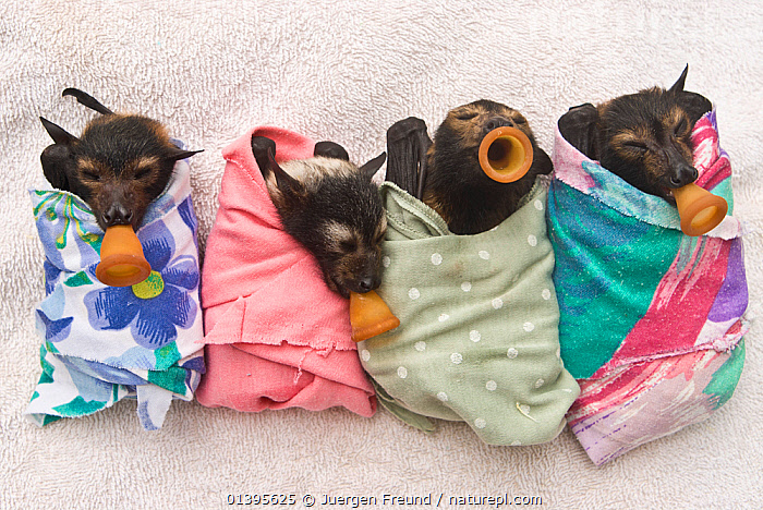 Spectacled flying fox (Pteropus conspicillatus) babies swaddled up in cloth ready to sleep, teats in mouths ready to be fed, Tolga Bat Hospital, Atherton, North Queensland, Australia. January 2008.  ,  ATHERTON,AUSTRALIA,BABIES,BATS,CARE,CHIROPTERA,CUTE,DUMMIES,FEEDING,FLYING FOXES,FOUR,FRUITBATS,FRUIT BATS,GROUPS,HOSPITAL,JUVENILE,MAMMALS,ORPHANAGE,ORPHANS,PROJECT,PTEROPODIDAE,QUEENSLAND,REFUGE,REHABILITATION,RESTING,SLEEPING,TOLGA,TROPICAL,TROPICS,VERTEBRATES,YOUNG  ,  Jurgen Freund