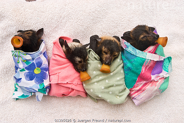 Spectacled flying fox (Pteropus conspicillatus) babies swaddled up in cloth ready to sleep, teats in mouths ready to be fed, Tolga Bat Hospital, Atherton, North Queensland, Australia. January 2008.  ,  ATHERTON,AUSTRALIA,BABIES,BATS,CARE,CHIROPTERA,CUTE,DUMMIES,FEEDING,FLYING FOXES,FOUR,FRUITBATS,FRUIT BATS,GROUPS,HOSPITAL,JUVENILE,MAMMALS,ORPHANAGE,PROJECT,PTEROPODIDAE,QUEENSLAND,REFUGE,REHABILITATION,RESTING,SLEEPING,SUCKING,TOLGA,TROPICAL,TROPICS,VERTEBRATES,YOUNG  ,  Jurgen Freund