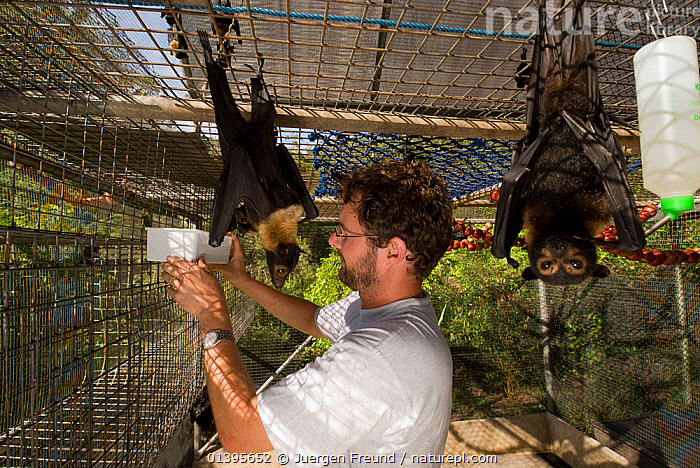 Spectacled flying foxes (Pteropus conspicillatus) inside cage with volunteer Andrew providing clean water, Tolga Bat Hospital, Atherton, North Queensland, Australia. January 2008.  ,  ATHERTON,AUSTRALIA,BATS,CAGES,CARE,CARING,CHIROPTERA,ENCLOSURES,FLYING FOXES,FRUITBATS,FRUIT BATS,GROUPS,HOSPITAL,MAMMALS,ORPHANAGE,PEOPLE,PROJECT,PTEROPODIDAE,QUEENSLAND,REFUGE,REHABILITATION,TOLGA,TROPICAL,TROPICS,VERTEBRATES,VOLUNTARY,WATER  ,  Jurgen Freund