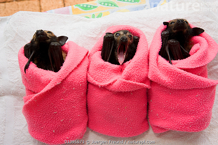 Spectacled flying fox (Pteropus conspicillatus) babies swaddled up in cloth ready to sleep, Tolga Bat Hospital, Atherton, North Queensland, Australia. January 2008.  ,  ATHERTON,AUSTRALIA,BABIES,BATS,CARE,CHIROPTERA,CUTE,FLYING FOXES,FRUITBATS,FRUIT BATS,GROUPS,HOSPITAL,JUVENILE,MAMMALS,ORPHANAGE,ORPHANS,PROJECT,PTEROPODIDAE,QUEENSLAND,REFUGE,REHABILITATION,RESTING,SLEEPING,THREE,TOLGA,TROPICAL,TROPICS,VERTEBRATES,YAWNING,YOUNG  ,  Jurgen Freund