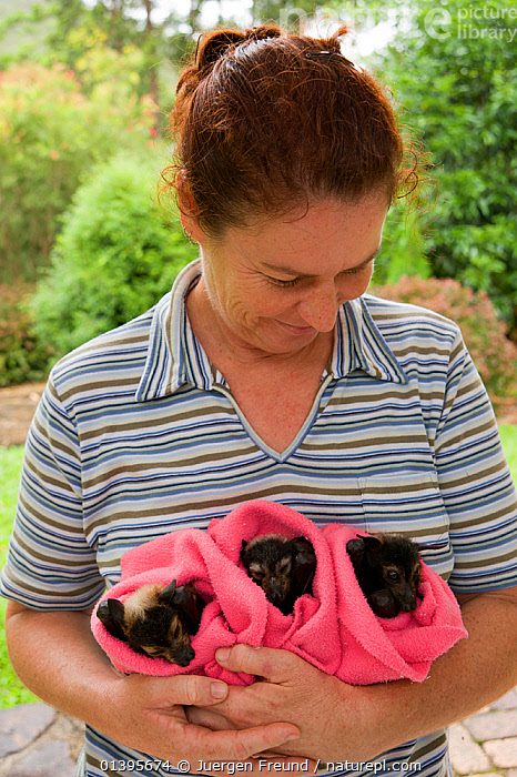 Spectacled flying fox (Pteropus conspicillatus) babies swaddled up in cloth ready to sleep, held by a voluntary wildlife carer, Tolga Bat Hospital, Atherton, North Queensland, Australia. January 2008.  ,  ATHERTON,AUSTRALIA,BABIES,BATS,CARE,CHIROPTERA,CUTE,FLYING FOXES,FRUITBATS,FRUIT BATS,GROUPS,HOLDING,HOSPITAL,JUVENILE,MAMMALS,ORPHANAGE,ORPHANS,PEOPLE,PROJECT,PTEROPODIDAE,QUEENSLAND,REFUGE,REHABILITATION,RESTING,SLEEPING,THREE,TOLGA,TROPICAL,TROPICS,VERTEBRATES,VERTICAL,YOUNG  ,  Jurgen Freund