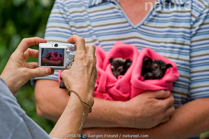Spectacled flying fox (Pteropus conspicillatus) babies swaddled up in cloth ready to sleep, held by a voluntary wildlife carer with someone taking a photo, Tolga Bat Hospital, Atherton, North Queensland, Australia. January 2008.  ,  ATHERTON,AUSTRALIA,BABIES,BATS,CAMERA,CARE,CHIROPTERA,CUTE,FLYING FOXES,FRUITBATS,FRUIT BATS,GROUPS,HOLDING,HOSPITAL,JUVENILE,MAMMALS,ORPHANAGE,ORPHANS,PEOPLE,PHOTOGRAPHY,PROJECT,PTEROPODIDAE,QUEENSLAND,REFUGE,REHABILITATION,RESTING,SLEEPING,THREE,TOLGA,TROPICAL,TROPICS,VERTEBRATES,YOUNG  ,  Jurgen Freund
