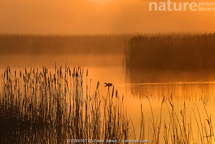 Misty evening view of Coot (Fulica atra) and reedbeds, Cley Norfolk, UK, March 2012.  ,  ATMOSPHERIC,BIRDS,COOTS,ENGLAND,EUROPE,LANDSCAPES,MIST,ORANGE,REFLECTIONS,RESERVE,SILHOUETTES,SUNSET,UK,VERTEBRATES,WATER,WATERFOWL,WETLANDS,United Kingdom  ,  Ernie Janes