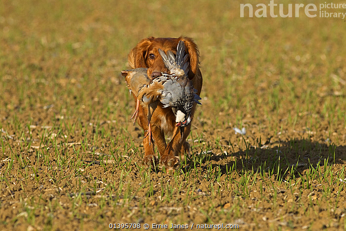 Cocker spaniel dog retrieving Red legged partridge (Alectoris rufa) on shoot, UK, October.  ,  BIRDS,CANIDAE,DOGS,EUROPE,GALLIFORMES,GAME BIRDS,GUNDOGS,HUNTING,LARGE DOGS,PARTRIDGE,PETS,VERTEBRATES,WORKING,United Kingdom,Canids  ,  Ernie Janes