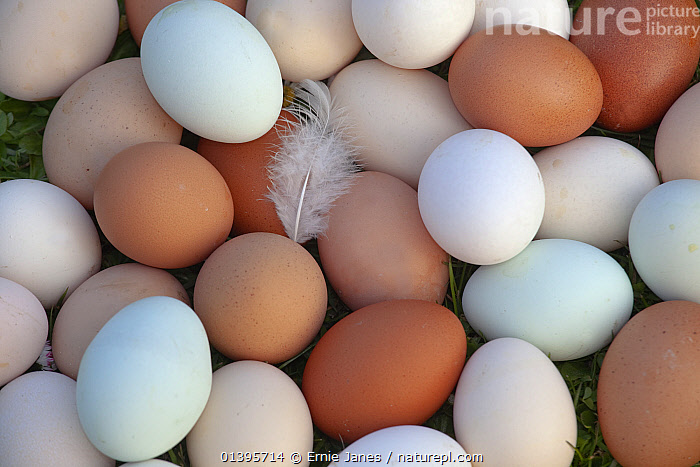 Close up of newly laid free range hens eggs of different colours from various breeds, March, 2012.  ,  BIRDS,BLUE,BROWN,CHICKENS,CLOSE UPS,COLOURFUL,EGGS,ENGLAND,EUROPE,FEATHERS,FOWL,HEN,POULTRY,SHELL,UK,WHITE,United Kingdom  ,  Ernie Janes