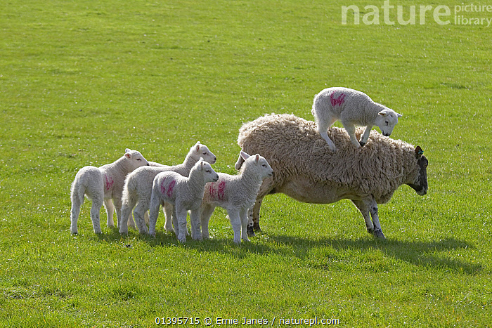 Domestic sheep (Ovis aries) lambs in meadow playing with one standing on Ewe, Norfolk, UK, March.  ,  ARTIODACTYLA,BABIES,BOVIDAE,ENGLAND,EUROPE,GRASS,GREEN,GROUPS,JUVENILE,LIVESTOCK,MAMMALS,PLAY,PLAYING,SHEEP,SPRING,UK,VERTEBRATES,YOUNG,Plants,Communication,United Kingdom,Goats,Antelopes  ,  Ernie Janes