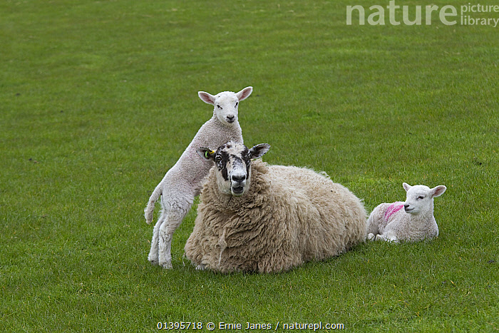 Domestic sheep (Ovis aries) lambs in meadow playing, with one standing on Ewe, Norfolk, UK, March.  ,  ARTIODACTYLA,BABIES,BOVIDAE,ENGLAND,EUROPE,GRASS,GREEN,GROUPS,JUVENILE,LIVESTOCK,MAMMALS,PLAY,PLAYING,SHEEP,SPRING,UK,VERTEBRATES,YOUNG,Plants,Communication,United Kingdom,Goats,Antelopes  ,  Ernie Janes